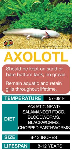 Learn the basics of Axolotl habitat setup and care needs bef… Axolotl Care Sheet. Learn the basics of Axolotl habitat setup and care needs before bringing home your new pet. Reptiles And Amphibians, Cute Reptiles, Reptiles Preschool, Axolotl Pet, Axolotl Care, Reptile Room, Reptile Pets, Fish Care, Animal Room