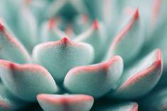 Her får du en guide til, hvordan sukkulenterne kan spire på ny Plant Background, Background Pictures, Planting Succulents, Succulent Plant, Echeveria, Close Up, Eco Friendly, Planters, How To Make