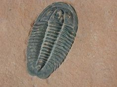 Coosella Cambrian Trilobite from Weeks Formation