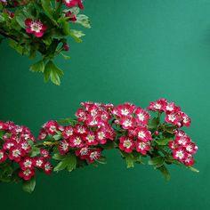 "Crataegus ""crimson cloud"" | France Garden Trees, Flowering Trees, Shrubs, Pink Flowers, Ava, Perfume, English, Gardening, Clouds"