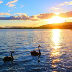 Today marks Lake Burley Griffin's Golden Jubilee. The lake in the heart of Canberra was officially inaugurated by Prime Minister Robert Menzies on October 17, 1964. To celebrate this milestone we put together a collection of fan photos of our glorious lake on our Facebook page including this image by @wanderlust73! #visitcanberra #canberra #cbr #cbrfanphoto #nationalcapital #regram #lakeburleygriffin #lake #swans #light #scenic #travel #australia @australia #seeaustralia