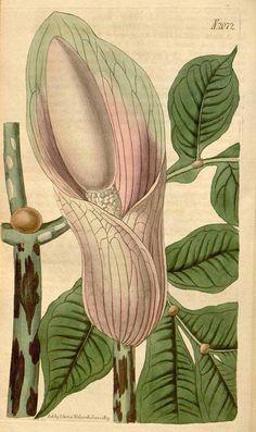 9027 Amorphophallus bulbifer (Roxb.) Blume [as Arum bulbiferum Roxb.]  / Curtis's Botanical Magazine, vol. 46: t. 2072 (1819) [n.a.]