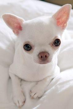 Beautiful white Chihuahua puppy White Chihuahua, Chihuahua Puppies, Teacup Chihuahua, Cute Puppies, Dogs And Puppies, Baby Dogs, Pet Dogs, Doggies, Baby Animals