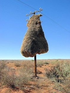 Weaver birds create the most elaborately woven nests of any birds, and when trees are scarce as they are in desert regions, telephone poles make equally good alternatives.