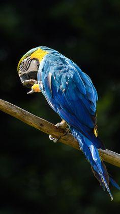 Blue, macaw, parrot, 720x1280 wallpaper