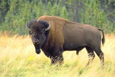 Image from http://www.alaska-in-pictures.com/data/media/1/bison-bison_1739.jpg.