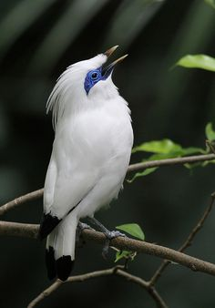 Bali Myna Bird This is a pretty neat looking bird.  Damn, I feel like I am getting OLD, I love looking at all the different kinds of birds.  I guess I never really took the time to stop and look at all the different kinds of  birds and the beauty of them.