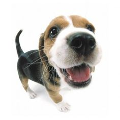 We think this Beagle would look great wearing Zippy Dynamics! #MAXStyle