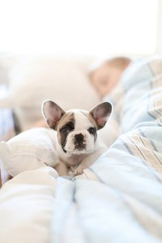 Bet you wish you could snuggle up with this guy! #Puppy #FrenchBullDog