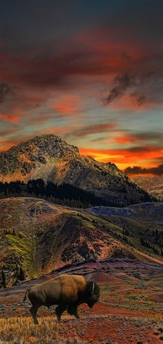 Sunrise, buffalo, clouds, landscape, beautiful, panorama, Mother Nature, animal, wild, picture, golden, photo.