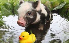 壁紙をダウンロードする 豚, 少し豚, ム肉の中で最も柔ら