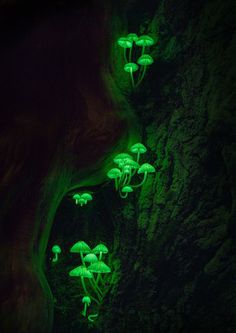 An illuminating mushroom that is only in a few places in Japan. 2017 National Geographic Travel Photographer of the Year | National Geographic