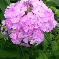"Phlox paniculata ""David's Lavender"""