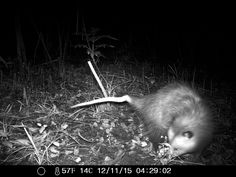 11/12/2015: here is that opossum again.  he has a kink in his tail. that should make him easy to identify if he shows up on any other wildlife cam pictures from the roberd's dairy farm, savannah, ga.