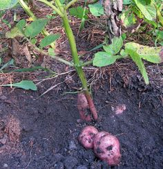 Cowlick Cottage Farm | Harvesting Potatoes. It's time to start thinking about what the potatoes are up to.