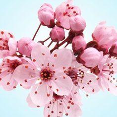 Japanese Cherry Blossom Fragrance Oil #naturesgarden #fragrance #fragranceoils #candlemakingsupplies #soapmakingsupplies #lotionmakingsupplies #diy #crafts #freshairscents #japanesecherryblossom