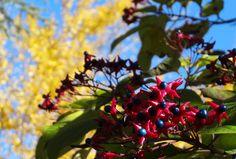 Clerodendron et Gingko biloba en Novembre / Clerodendron and Gingko biloba in November