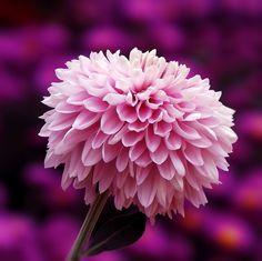 Pink Plant, Close Up Photography, Dandelion, Rose, Flowers, Plants, Gifts, Color, Google