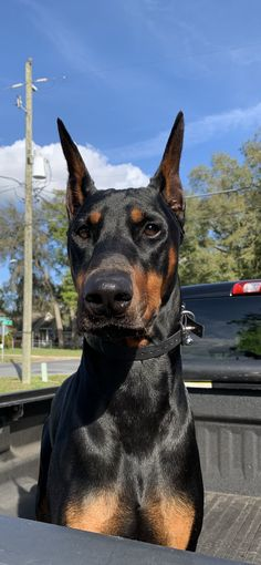 Chien Dobermann, Guard Dog Breeds, Baby Animals, Cute Animals, Doberman Pinscher Dog, Doberman Love, Huge Dogs, Cute Dogs Breeds, Baby Dogs