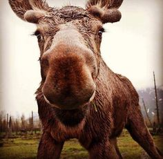 Moose, Alaska. Beautiful animal photography to inspire you to always just be yourself no matter what. Helpful motivation to support tips, activities, plans and ideas on how to be yourself, including for women. Works well with motivational quotes and inspirational quotes. For more great inspiration follow us at 1StrongWoman.