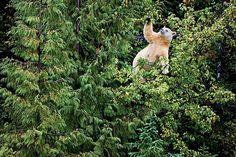 Oso kermode en Canada, foto de Paul Nicklen