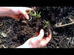 Comfrey Planting Dividing Expanding! #gardening #garden #gardens #DIY #landscaping #home #horticulture #flowers #gardenchat #roses #nature