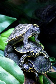 How Long do Tortoises Live? The Life of a Tortoise Cute Turtles, Baby Turtles, Sea Turtles, Beautiful Creatures, Animals Beautiful, Baby Animals, Cute Animals, Tortoise Turtle, Tortoise Care