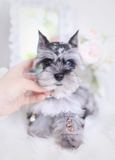 Browse adorable Miniature Mini Schnauzer puppies for sale by TeaCups, Puppies & Boutique of South Florida! Mini Schnauzer For Sale, Black Mini Schnauzer, Miniature Schnauzer Puppies, Toy Puppies, Cute Puppies, Cute Dogs, Yorkie Puppies, Teacup Schnauzer, Schnauzer Puppy