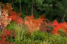 Japanese Maple Garden Fern Canyon Mill Valley California