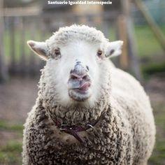 Estela cambió lo que muchas personas pensaban de las ovejas. Con su conmovedora historia de superación de su pasado tanto física como emocionalmente muchos llegamos hasta las lágrimas anhelando con todo nuestro corazón que se recuperara y pudiera vivir feliz en el santuario.  Hoy Estela es una ovejita fuerte sana y muy saludable. Es feliz segura amistosa y disfruta mucho del cariño! Cada día de madrinas donde los padrinos conocen a sus ahijados muchos se sorprenden de su ternura y lo mucho…