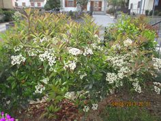 Hedge in bloom