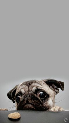 "Acquire great ideas on ""fawn pugs"". They are actually offered for you on our web site. Cute Dog Wallpaper, Dog Wallpaper Iphone, Animal Wallpaper, Amor Pug, Silly Dogs, Cute Dogs, Chateau De Malmaison, Funny Animals, Cute Animals"