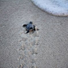 There are 7 species of #seaturtles of which 3 are found in #Cozumel. They will always return to the same nesting grounds where they were born.