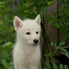 1000+ images about White Wolf on Pinterest   White wolves ... - photo#9