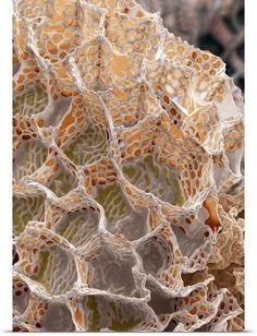Foxglove seed, SEM