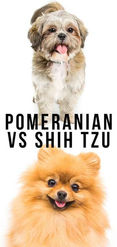 Pomeranian vs Shih Tzu - Which Pocket Pup Makes The Best Pet? Dog Breeds Chart, Dog Breeds List, Pet Breeds, Small Dog Breeds, Puppy Training Guide, Crate Training, Dog Comparison, Dog Breeds That Dont Shed, Dog Breeds Pictures