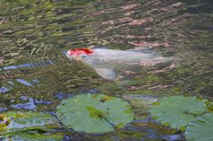Koi Fish Pictures and Images for Free Koi, Pond Maintenance, Winter Is Coming, Carp, Warm Weather, Free Images, Fish, Water, Ponds