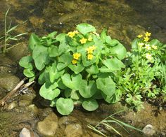 Saw many patches of these growing in or near rivers in Ontario. Gardening Books, Rivers, Shrubs, Ontario, Patches, Canning, Flowers, Plants, Home Canning