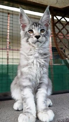 Gray and white Maine Coon kitten. cat Gray and white Maine Coon kitten. Baby Animals, Funny Animals, Cute Animals, Cute Kittens, Cats And Kittens, Ragdoll Kittens, Tabby Cats, Bengal Cats, Siamese Cat