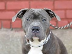 Brooklyn Center BLUE aka PHILLY - A1026089 MALE, GR BRINDLE / WHITE, AM PIT BULL TER MIX, 1 yr STRAY - STRAY WAIT, HOLD FOR RTO Reason STRAY Intake condition EXAM REQ Intake Date 01/22/2015 https://www.facebook.com/photo.php?fbid=958239914188888