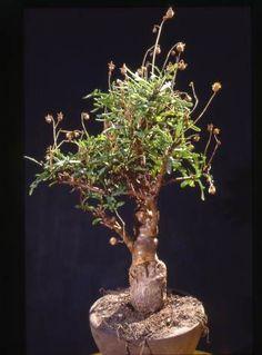 Othonna retrofracta (Litoralis)