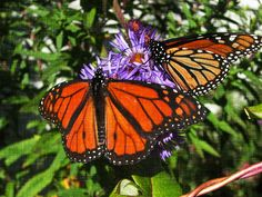 """Volunteers are racing to plant milkweed. But the real answer may be a clever new """"AirBnB for butterfly"""" scheme."""