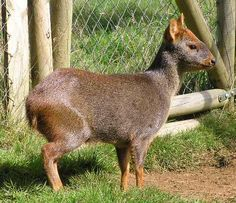 The pudús (Mapudungun püdü or püdu,[1] Spanish: pudú, Spanish pronunciation: [puˈðu]) are two subspecies of South American deer from the genus Pudu, and are the world's smallest deer. Pudús range in size from 32 to 44 centimeters (13 to 17 in) tall, and up to 85 centimeters (33 in) long Pudupuda hem 8 FdoVidal Villarr 08Abr06-PhotoJimenez.JPG