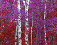 Birch Tree Photo, Michigan Fall colors Red Purple Surreal photography