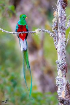 Resplendent Quetzal (Pharomachrus mocinno) in Costa Rica. http://www.cleaverkittycats.com/product-category/cat-feeders/food-storage/