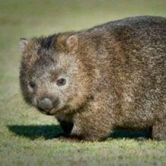 I <3 wombats