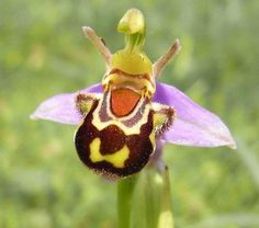 Happy ... Ophrys Bomybliflora