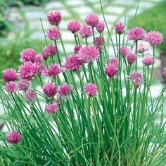 Allium. Chive Herb. Perennial. Purple.