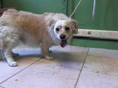 CARSON, CA- My name is FOREST approx 2 year old male Dachshund. at the Carson Animal Care Center I will be available on Small Dog Breeds, Small Breed, Small Dogs, Yorkie, Chihuahua, Dog Toys, Pet Care, Poodle, Dachshund