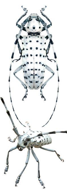 Anoplophora versteegi